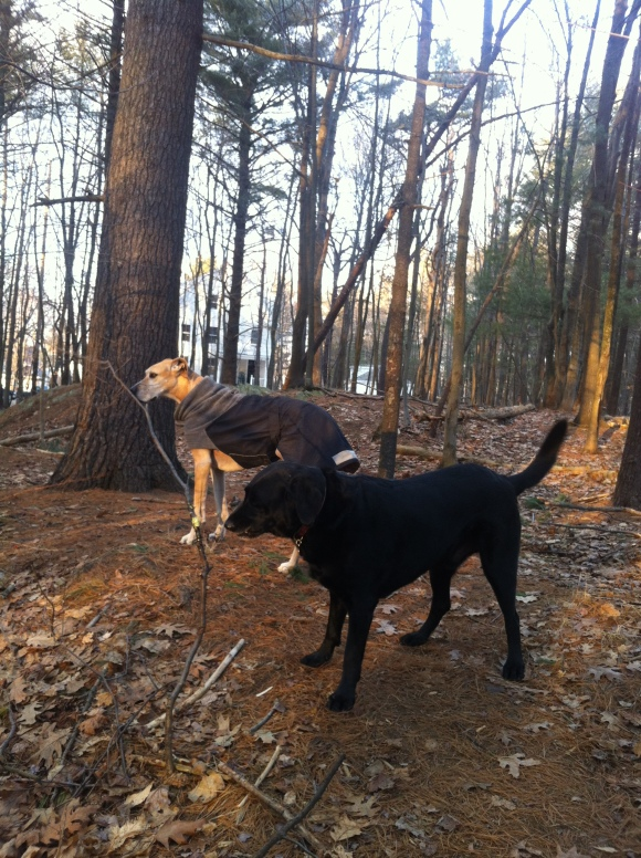 Murphy (in the coat) patiently waits while Cash eyes a new toy: a small tree.